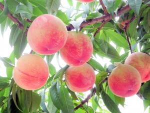 夏を代表する果実「桃」